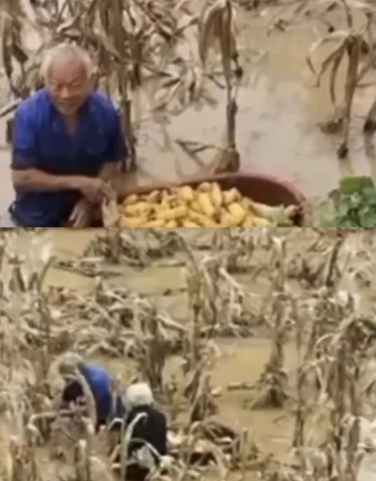 新闻报道,有农民在积水中抢收玉米。