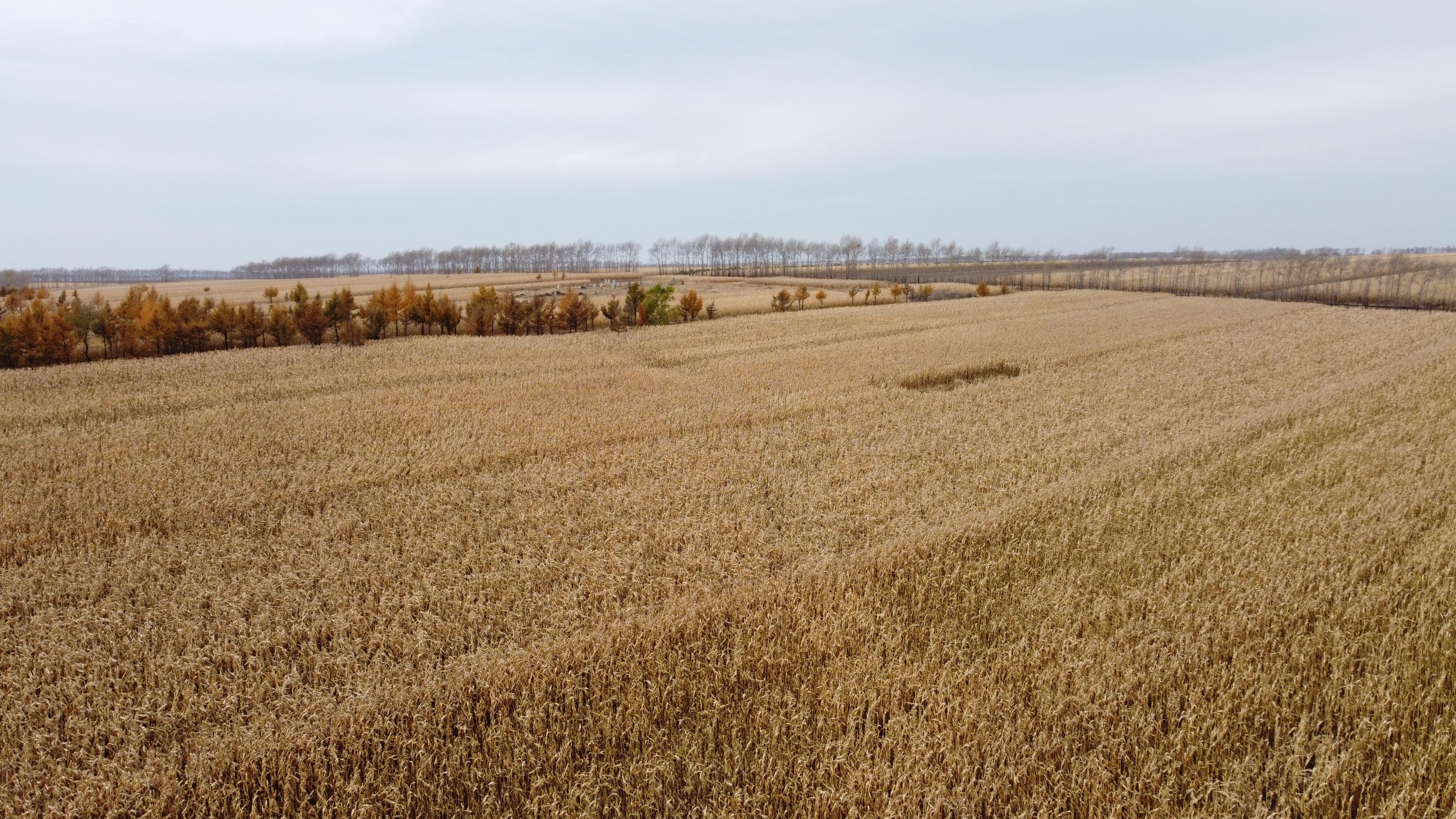 治理好的农田长满了丰收的玉米