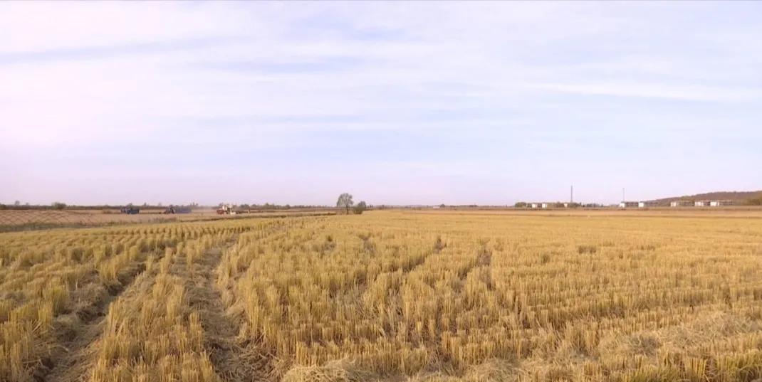 刚刚收割过的稻田
