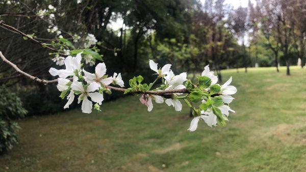 月湖风景区樱花开放。许丹 摄