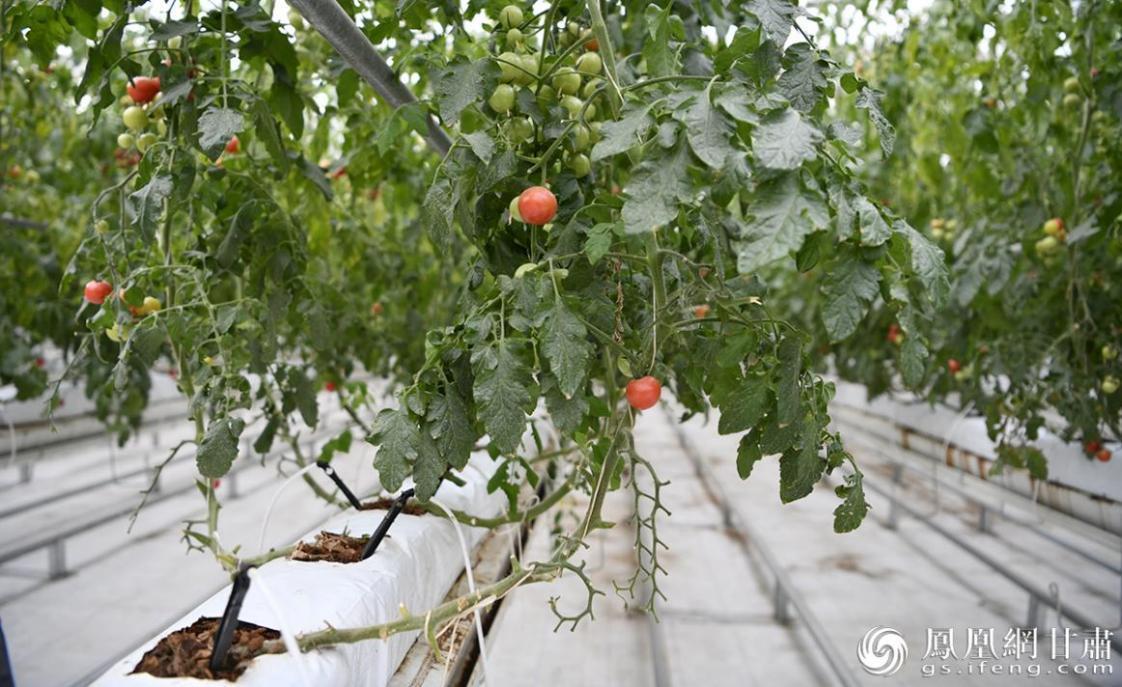 园区内采用无土化培育的蔬菜长势喜人 李果繁 摄