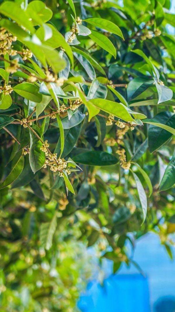 西北湖绿化广场桂花含苞待放。记者肖茗予 摄